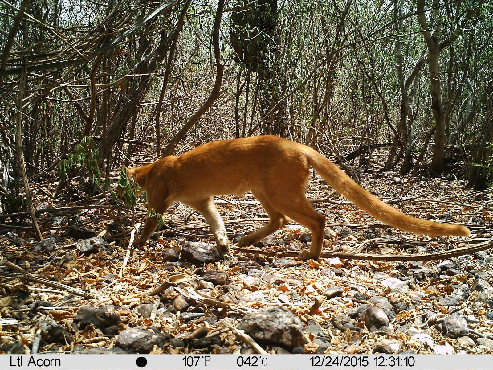 Um gato do mato vermelho na caatinga