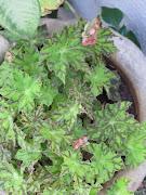 A Begonia apontou as flores da primavera;. ela só floresce na primavera, .