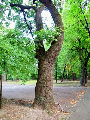 Дерево Владимирской горки