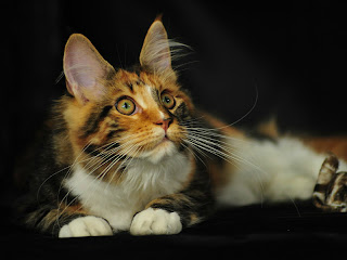 Jenis Kucing Maine Coon