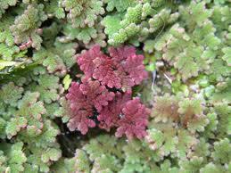 Gli argomenti spaziano piante acquatiche scelte per for Piante acquatiche ossigenanti per laghetto