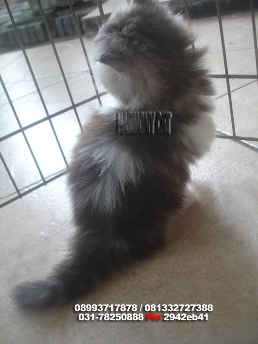 April 2013 Jual Beli Kucing Harmony