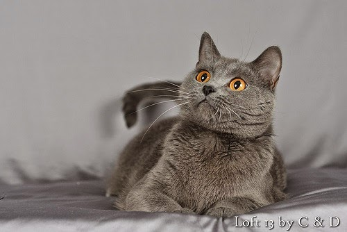 Mars 2015 photo de chat - Chaton chartreux gratuit ...