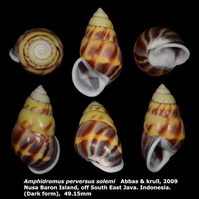 Amphidromus perversus solemi 49.15mm