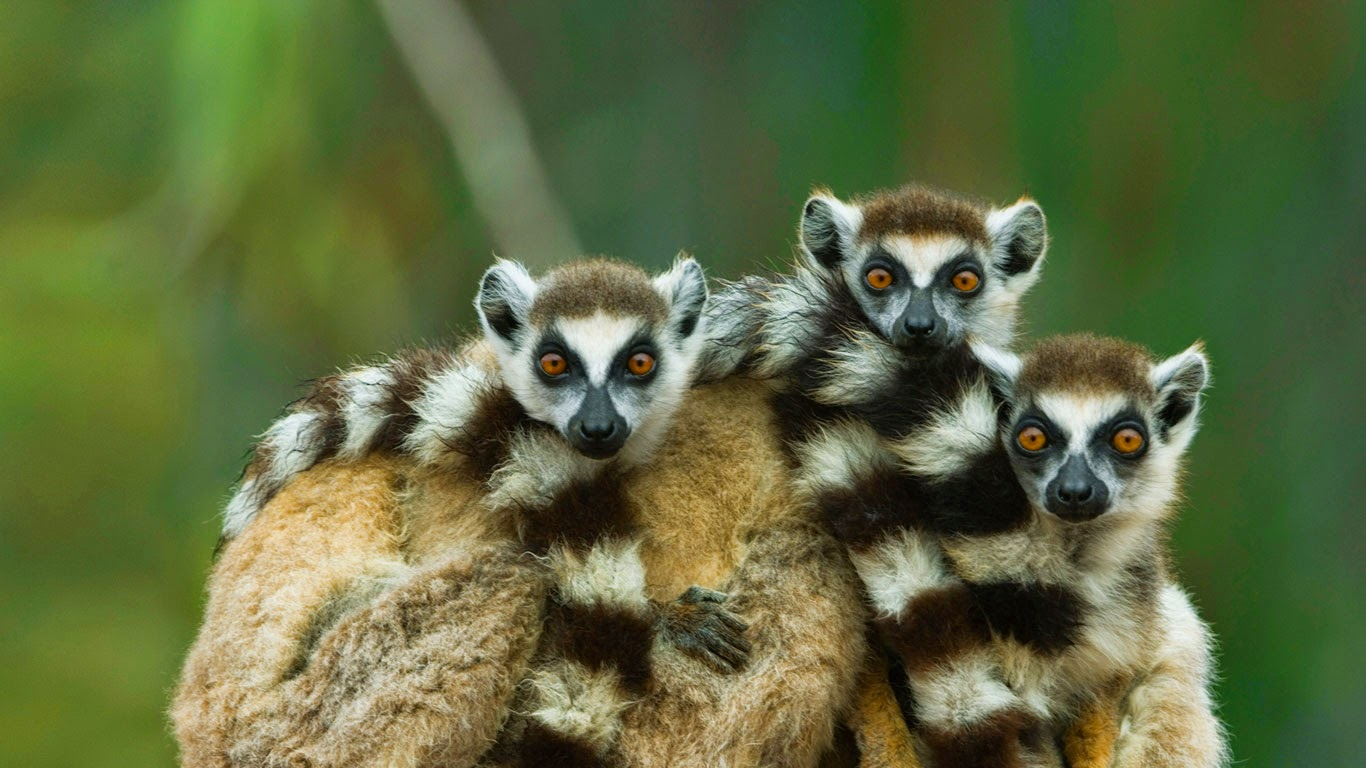 Ring-tailed lemurs at Berenty Reserve in Madagascar (© Art Wolfe/Alamy) 153