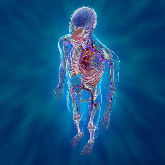 3d Cardiovascular System