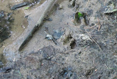 deer tracks in mud