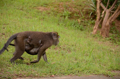 Mama monkey moved on carrying baby monkey under belly