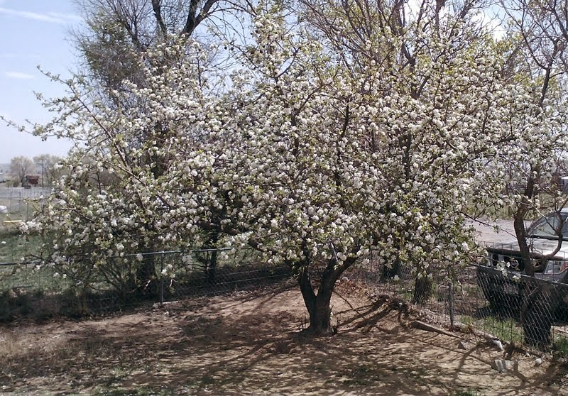 one of 4 apple trees in bloom