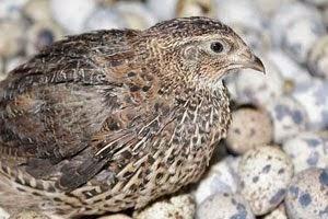 Foto Burung Puyuh Jantan