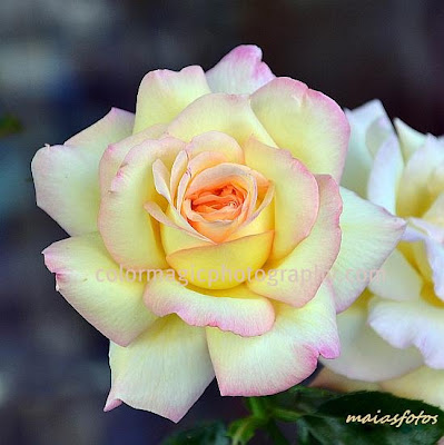 Yellow rose - macro