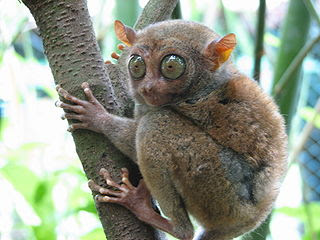 animal photos weird nature photography Philippine Tarsier