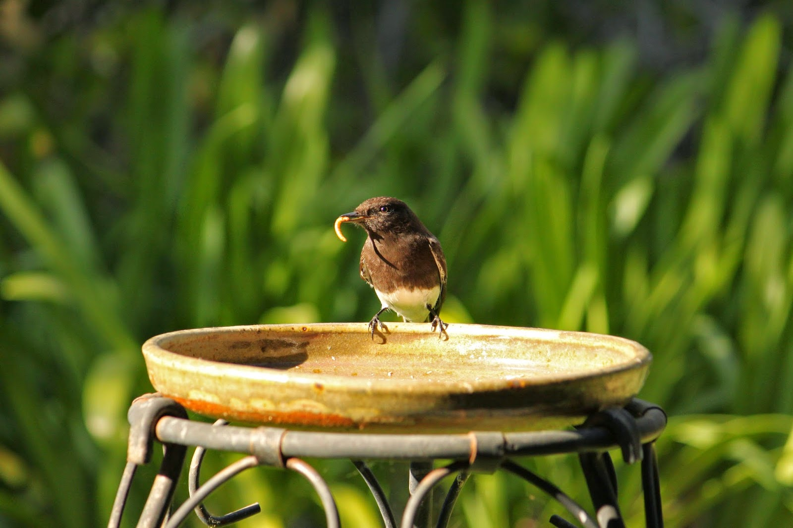 the backyard birder mealworms for black phoebes