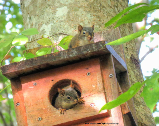 Red Squirrel babies (kittens) in a Screech Owl nest box