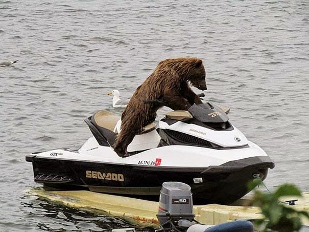 oso en moto de agua
