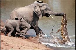 Κροκόδειλος επιτίθεται σε Ελέφαντα!!! Δείτε την απεγνωσμένη προσπάθεια να ξεφύγει