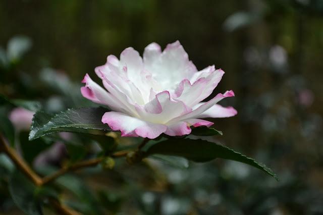 camellia, http://growingdays.blogspot.com