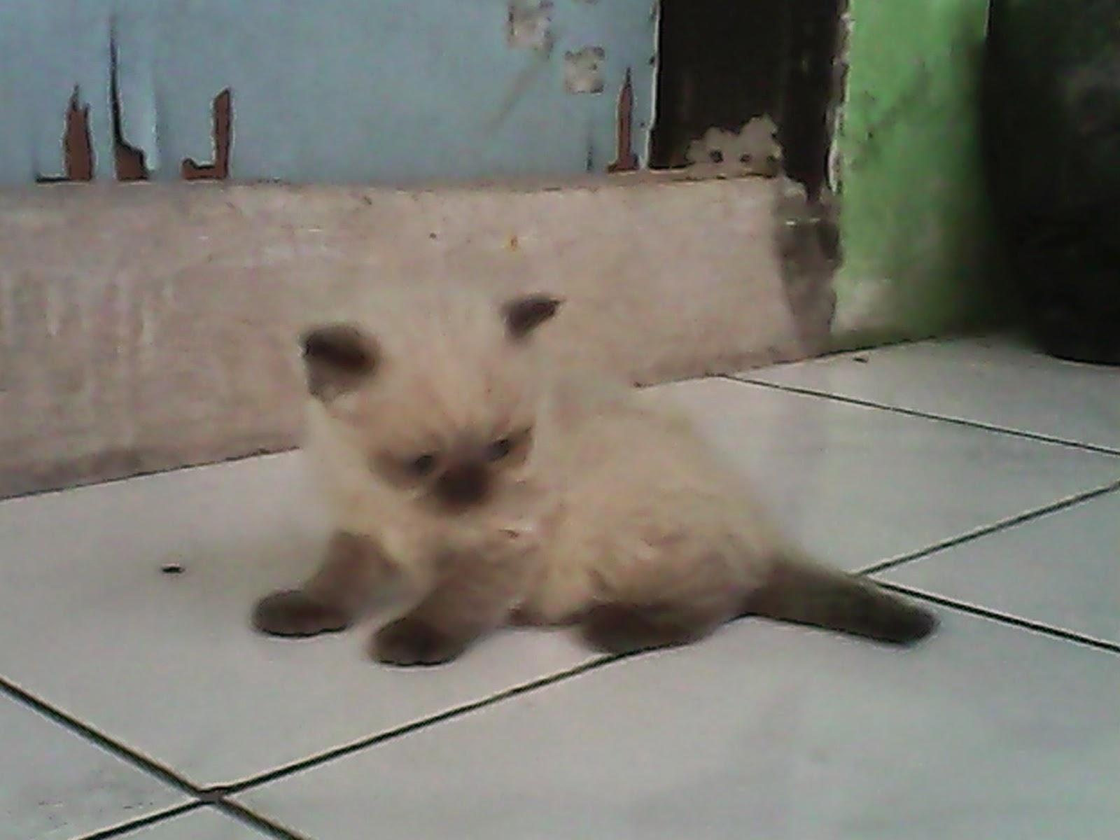 Harga Anak Kucing Himalaya Segitu Petshop