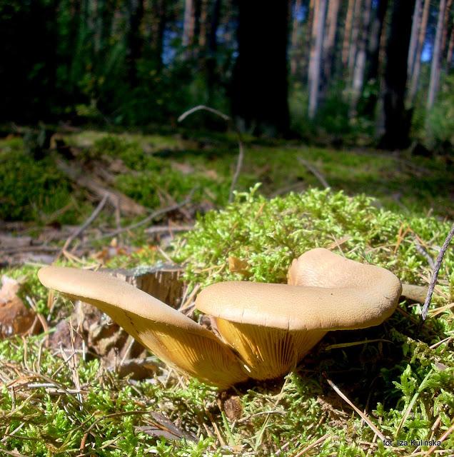 ponurnik aksamitnotrzonowy , atlas grzybów , grzyby gatunkami , poznaj nowe gatunki , grzybobranie , krowiak aksamitnotrzonowy , prosto z lasu , las