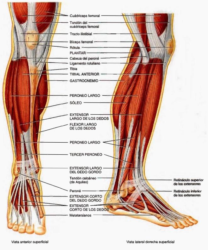 Musculos de las piernas nombres - Imagui