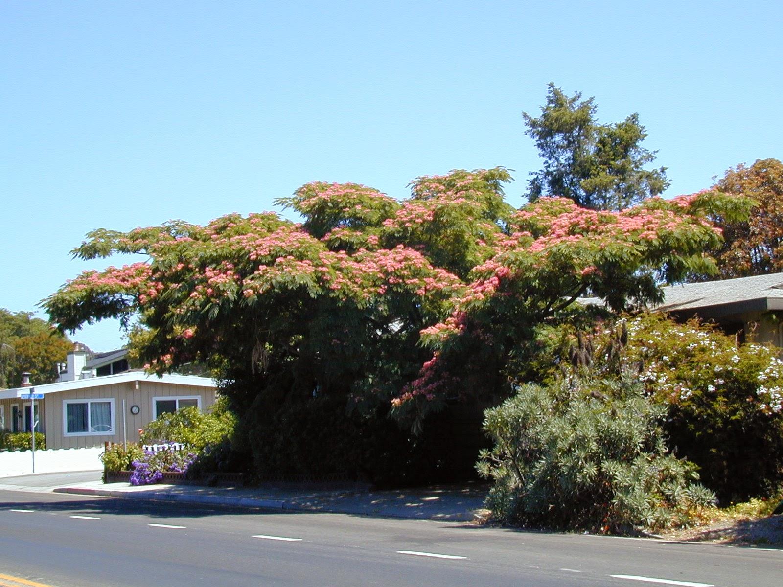 trees of santa cruz county albizia julibrissin silk tree. Black Bedroom Furniture Sets. Home Design Ideas