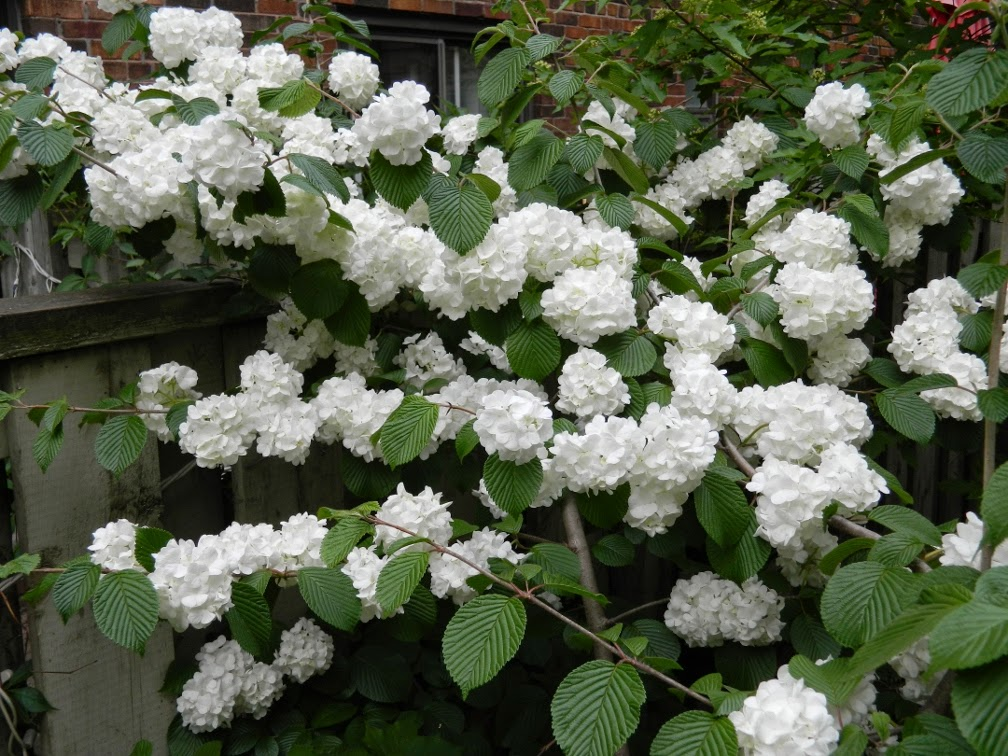 Popcorn doublefile viburnum plicatum by garden muses-not another Toronto gardening blog