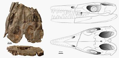 Thalattoarchon skull