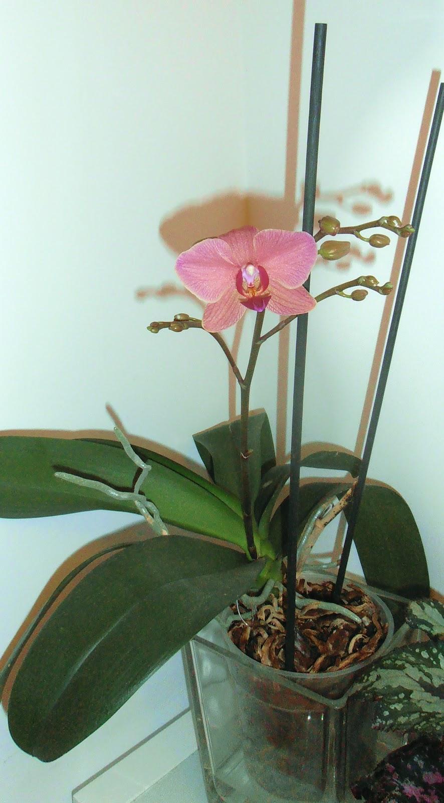 La ventana de javiruli plantas de interior 18 orqu dea for Cuidados orquideas interior