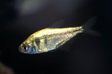 Aquarium Fish: Yellow Tetra Yellow Tetra Fish