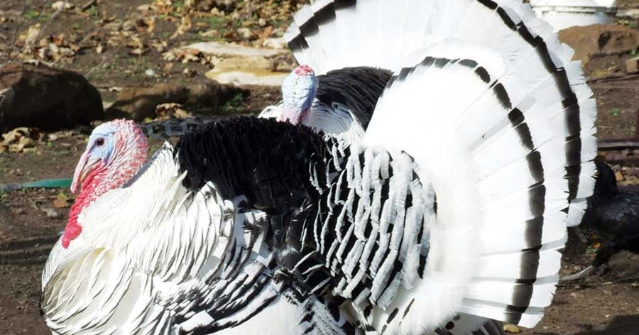 Gambar Foto Hewan: gambar jenis ayam kalkun