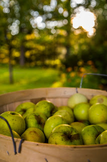 Basket of freshly picked apples photographed outside, and backlit by the setting sun captured by chris gardiner photography www.cgardiner.ca