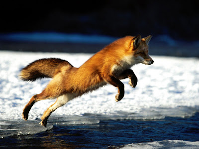 Fox Animal Wallpaper
