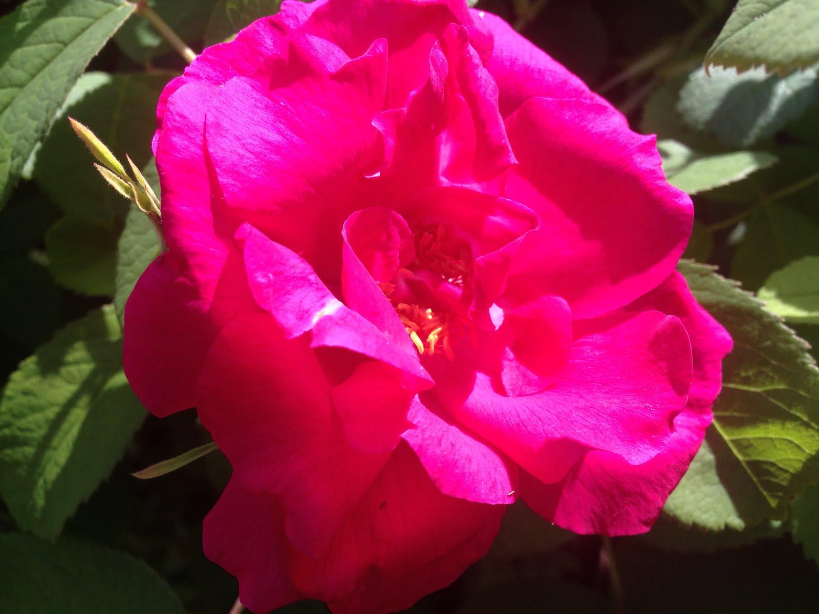 Gammaldags rosorna blommar