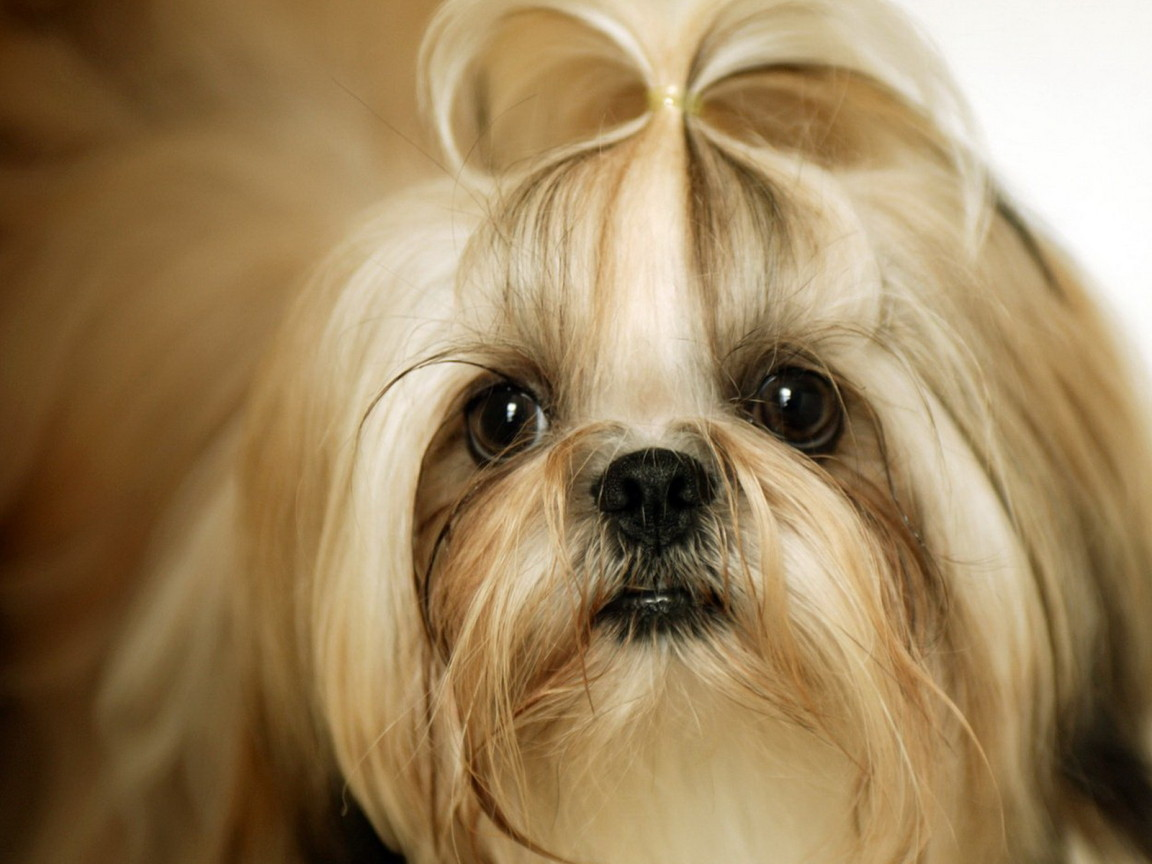 Cute Shih Tzu Dog Pictures wallpapers