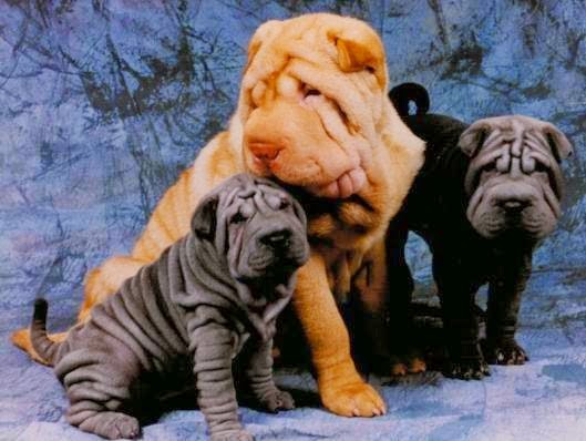 """Shar Pei"" Dog breed"
