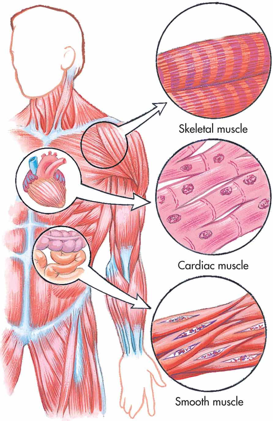 types of muscle tissue Skeletal muscle is the most abundant type of muscle tissue found in the vertebrate body, making up at least 40% of its mass although it is often activated by reflexes that function in automatically in response to an outside stimulus, skeletal muscle is also called voluntary muscle because it is the only type subject to conscious control.