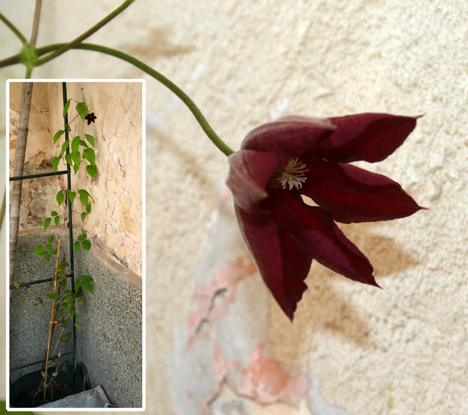 The Clematis is flowering again
