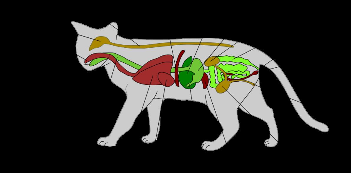 Sofy, una mascota felina: Anatomía interna del gato
