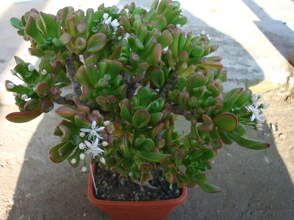 Piante e fiori le piante succulente for Piante grasse succulente