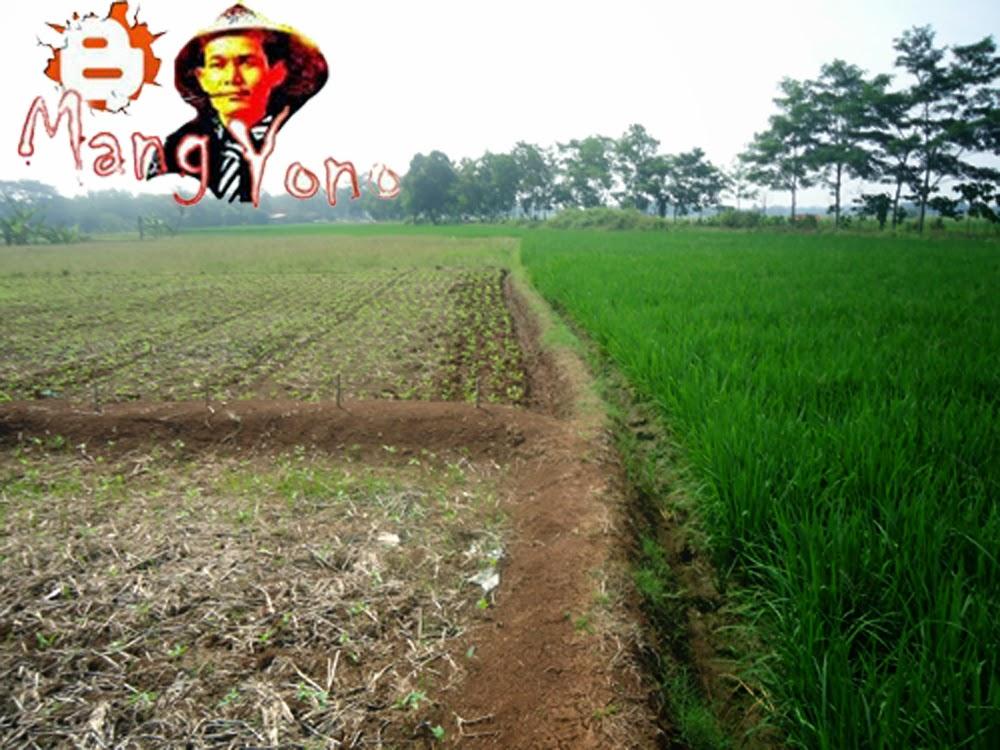 Tanaman palawija sebelah kiri, sebelah kanan tanaman padi tetangga saya