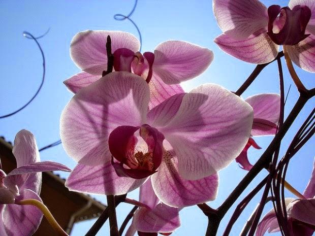 Método para florescer a orquídea mais de uma vez