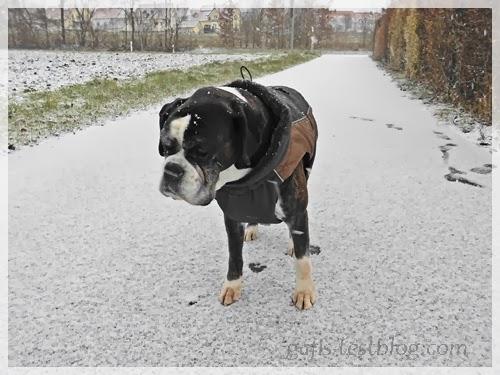 Boxerhündin Ivy im Schnee