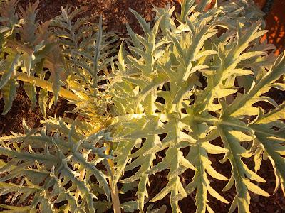 photo of artichoke plant in Rockaway Beach Oregon