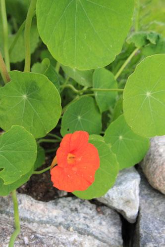 Punainen köynnöskrassi kukka