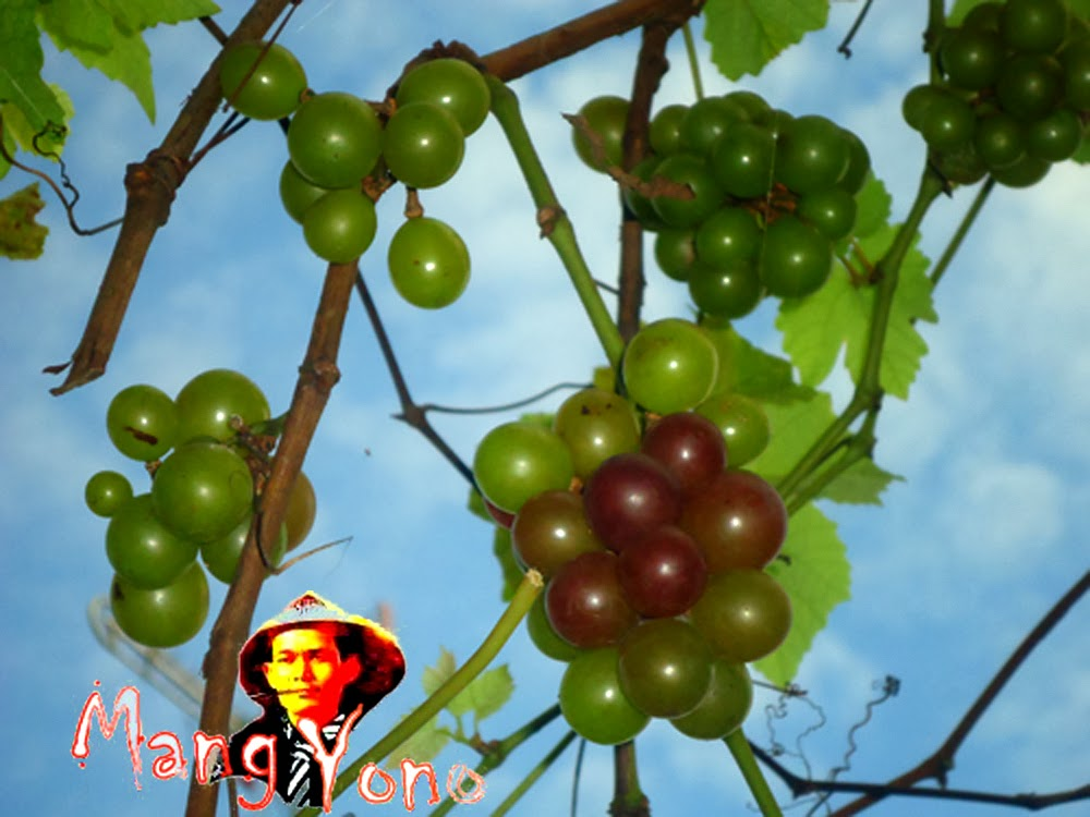 Agar Pohon Anggur Bisa Berbuah Rutin.