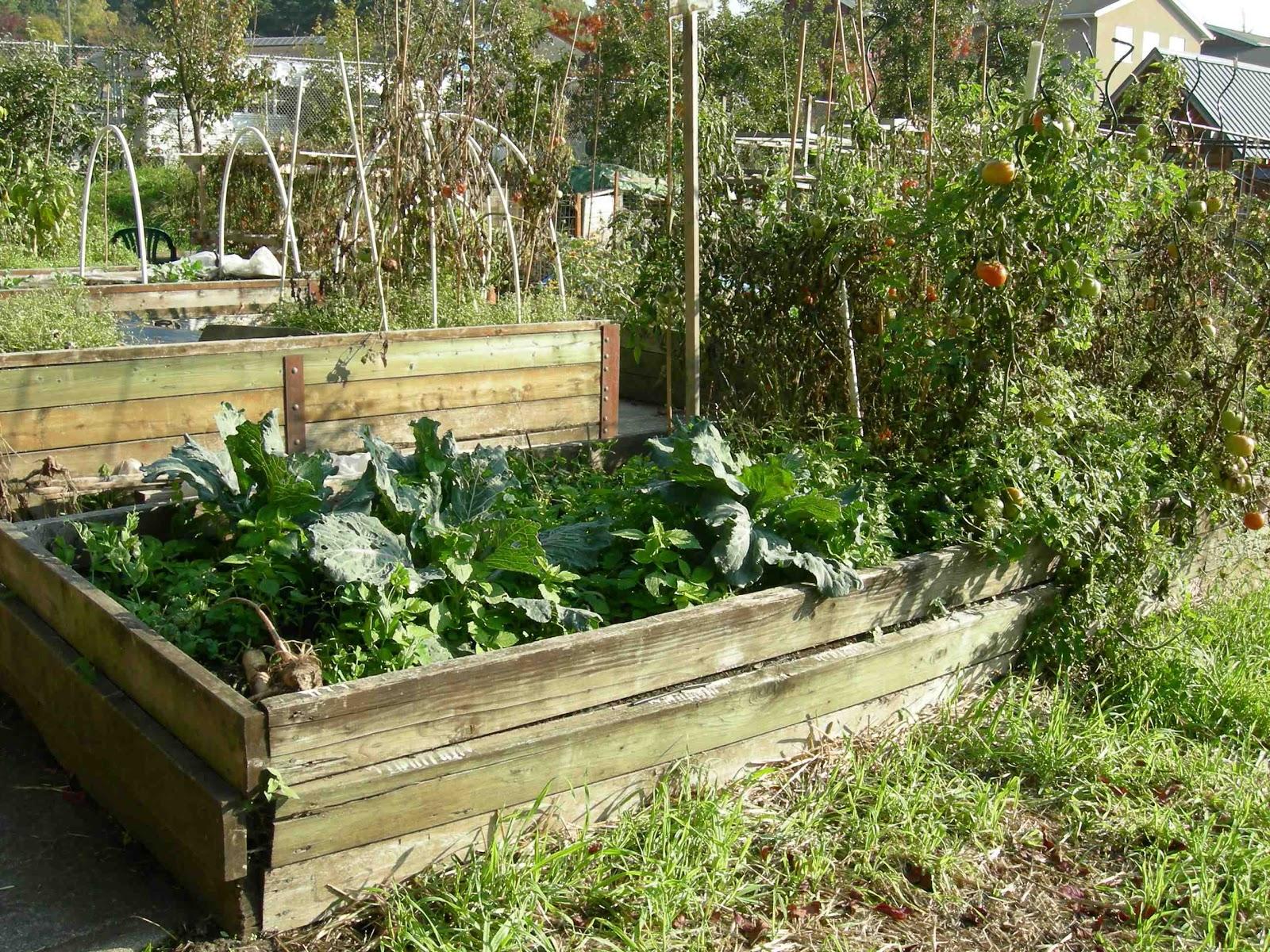 Stroke survivors tattler raised bed gardening - Raised bed garden pictures ...