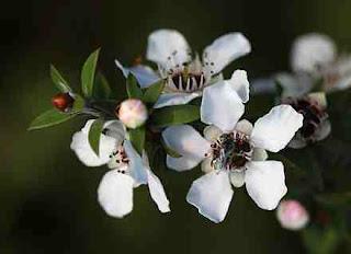 زهرة عسل مانوكا