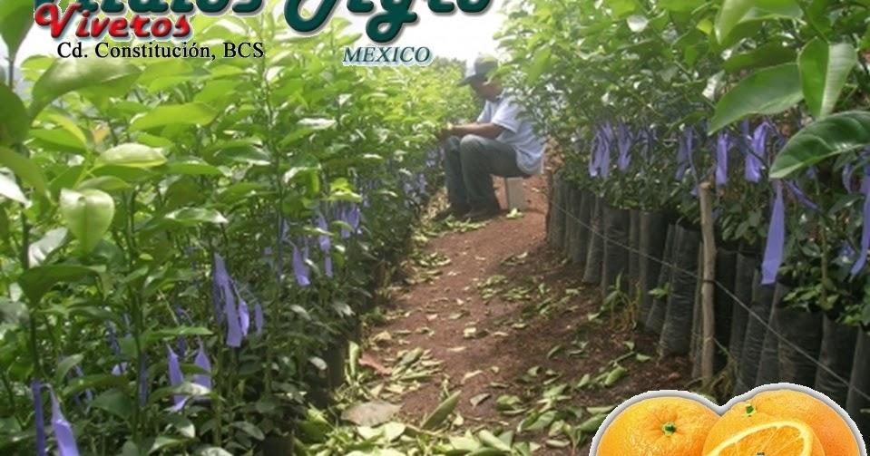 Plantas de c tricos certificada libre de hlb citrus for Viveros zona sur