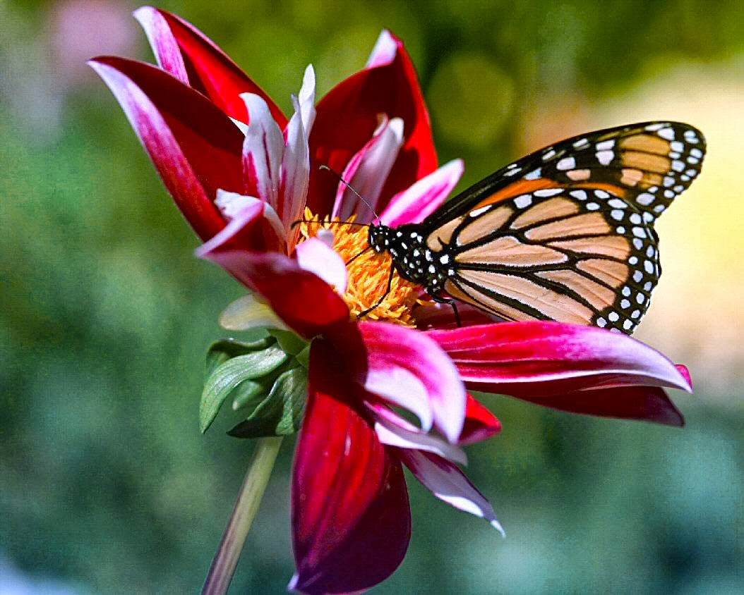 Plants to attract butterflies to your backyard for Butterfly in a flower