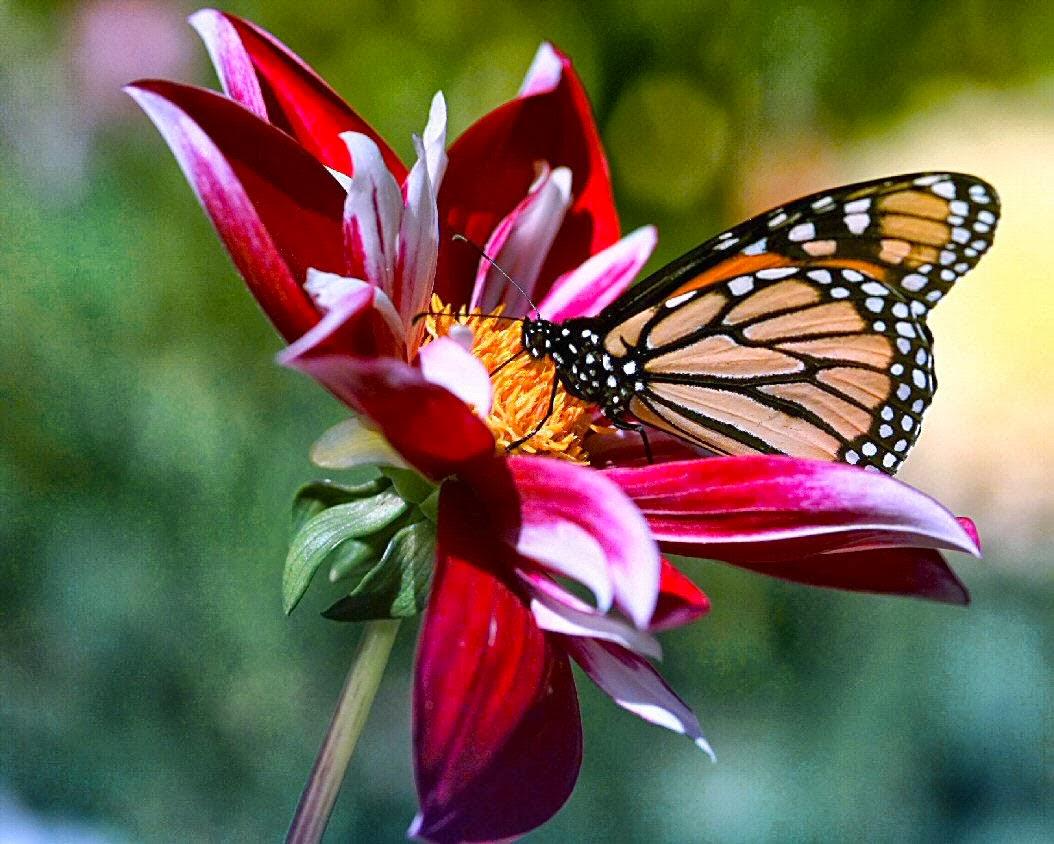 Flowers butterflies love for Butterfly on flowers